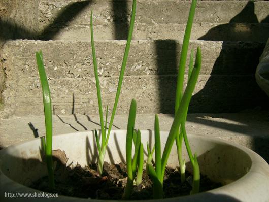 Τα κρεμμυδάκια μεγαλώνουν - Φυτέψαμε κοκκάρι και άρχισαν να εμφανίζονται τα μικρά βλασταράκια στο χώμα και να σχηματίζονται να μικρά φρεσκότατα κρεμμύδια