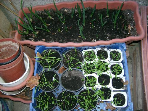 Μπαξές σε γλάστρα - Τον Οκτώβριο συνήθιζαν οι παλιότεροι να φυτεύουν, έβρισκαν ευκαιρία στο μικρό καλοκαιράκι που ακολουθούσε τον βροχερό Σεπτέμβρη για να κάνουν τις σπορές τους.