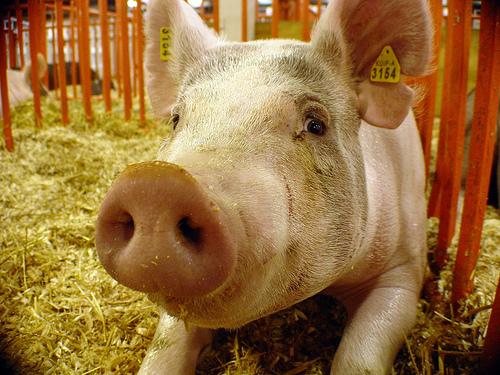 Άσε κάτω το γουρούνι - Τα πράγματα όμως άρχισαν να αγριεύουν μια και το φαινόμενο της ζωοκλοπής έχει επιστρέψει ξανά στις μέρες μας.