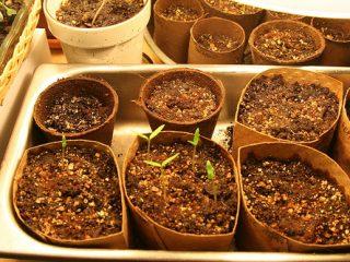 Επιλογή σπόρων και προετοιμασία φυτών