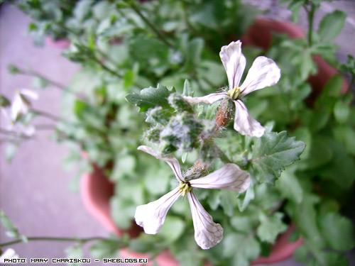 roka-flowers