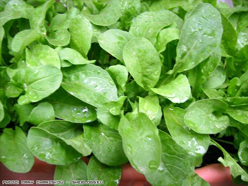 Ρόκα στο μπαλκόνι - Η ρόκα στο μπαλκόνι μου μεγαλώνει φυσιολογικά και θεωρώ πως είναι από τα πιο εύκολα φυτά που μπορεί να καλλιεργήσει κάποιος σε γλάστρα ή ζαρτινιέρα.