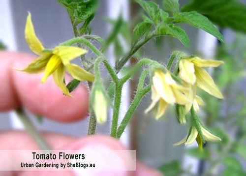 tomato flowers Nτοματιά σε γλάστρα από σπόρο