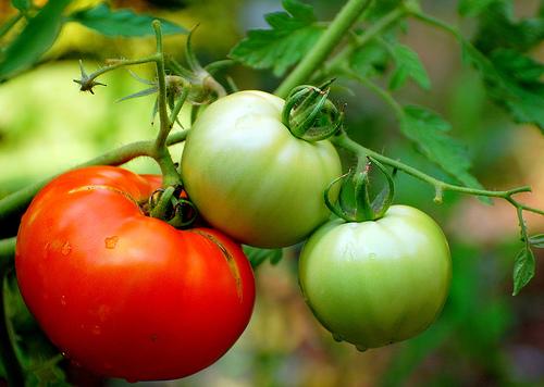 Ντομάτα - Τα μήλα του παραδείσου όπως τα ονόμαζαν, σίγουρα κρατάνε την πρώτη θέση ανάμεσα στα διάφορα είδη λαχανικών