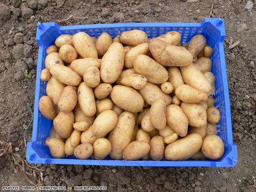 patates Οι πρώτες Πατάτες