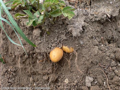 Σπέρνω Πατάτες - Στα κρύα του Φλεβάρη θα μπει η πατάτα στο χώμα. Ελάτε να δούμε πως γίνεται με απλά βήματα