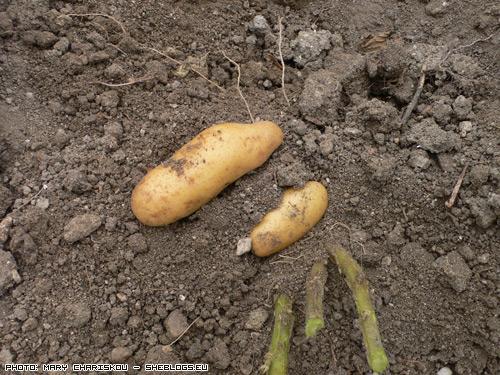 pataties1 Οι πρώτες Πατάτες