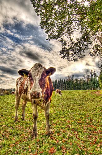 Η παράξενη ιστορία της Μαρίκας - Η παράξενη ιστορία μιας λαθρομετανάστριας αγελάδας