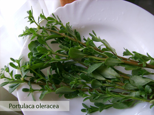 purslane2 Γλυστρίδα ή Αντράκλα