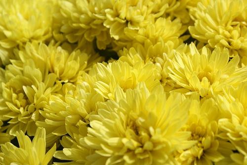 Χρυσάνθεμα - Τα Χρυσάνθεμα αυτή την εποχή έχουν σίγουρα την τιμητική τους μια και γεμίζουν χρώματα τα μπαλκόνια και τους κήπους μας.