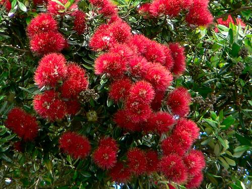 Pohutukawa - Το Χριστουγεννιάτικο δέντρο της Νέας Ζηλανδίας - Αν νομίζετε πως όλες οι χώρες του κόσμου στολίζουν τα παραδοσιακά γνώστα μας έλατα τα Χριστούγεννα κάνετε λάθος!