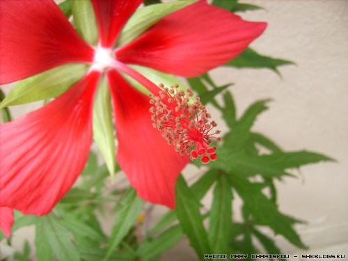 Κόκκινος Ιβίσκος - Υιοθετήστε έναν κόκκινο ιβίσκο αν θέλετε εντυπωσιακά λουλούδια για τον κήπο και το μπαλκόνι σας