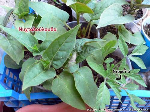 """Νυχτολούλουδα από σπόρο - Τα νυχτολούλουδα που στο εξωτερικό είναι γνωστά ως """"four o'clock"""" είναι από τα ευκολότερα καλοκαιρινά φυτά για κήπους, μπαλκόνια, παρτέρια και πεζοδρόμια."""
