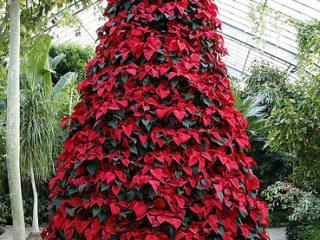 Εντυπωσιακό χριστουγεννιάτικο δέντρο με Αλεξανδρινά