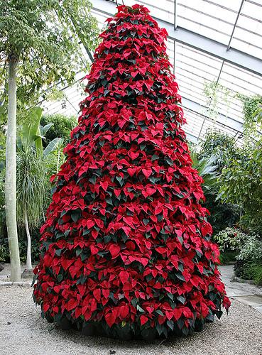 Εντυπωσιακό χριστουγεννιάτικο δέντρο με Αλεξανδρινά - Βαρεθήκατε τα συνηθισμένα δέντρα και θέλετε να δείτε κάτι πραγματικά όμορφο και διαφορετικό; Δείτε το δέντρο με τα Αλεξανδρινά