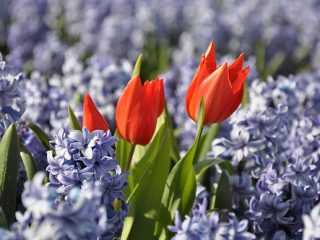 Φυτεύουμε βολβούς λουλουδιών για την άνοιξη
