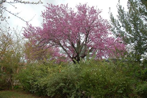 Κουτσουπιά, η όμορφη της άνοιξης - Η κουτσουπιά θαρρώ πως είναι το ομορφότερο δέντρο της εποχής μια και γεμίζει με υπέροχα μωβ-φουξιά άνθη σε όλα τα κλαδιά της από τα τέλη Φεβρουαρίου ως και τις αρχές Μαίου που τελικά πρασινίζει και κανείς δεν ασχολείται μαζί της.