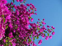 Μπουκαμβίλια ή Βουκαμβίλια αν προτιμάτε - Αν θα διάλεγα ένα φυτό για το καλοκαίρι αυτό δε θα μπορούσε να είναι άλλο από τη μπουκαμβίλια που αρκετοί ονομάζουν και βουκαμβίλια.