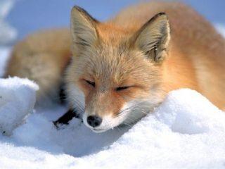 Η αλεπού μιας άλλης εποχής