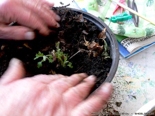 Πολλαπλασιάζουμε χρυσάνθεμα - Μαθαίνουμε βήμα βήμα πως πολλαπλασιάζεται το χρυσάνθεμο για να δημιουργήσουμε νέα φυτά ώστε να γεμίσουμε το μπαλκόνι μας ή να χαρίσουμε σε φίλους
