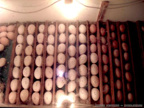 klosomixani 11 Αυτοσχέδια Κλωσσομηχανή   Θερμομάνα για κότες και άλλα πτηνά