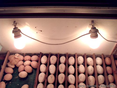 klosomixani 31 Αυτοσχέδια Κλωσσομηχανή   Θερμομάνα για κότες και άλλα πτηνά