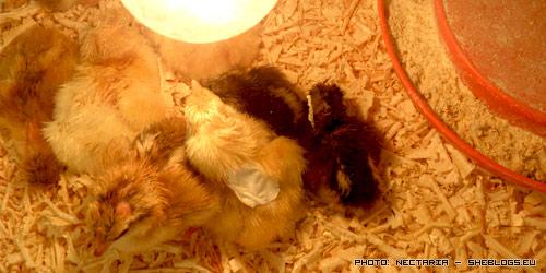 Γεννήθηκαν τα κοτοπουλάκια μου! - Κάθε που πλησίαζε η άνοιξη και η Πασχαλιά γέμιζαν τα παζάρια με νεογέννητα κοτοπουλάκια. Παμε να δουμε τα δικα μου που βγηκαν απο το αυγό τους χθες!
