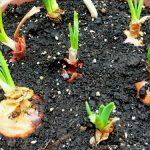 Φυτεύω κρεμμυδομάνες σε γλάστρα