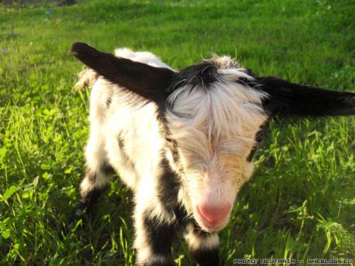 Νεογέννητο κατσικάκι η αρνάκι - Ένα σημαντικό κομμάτι μιας πετυχημένης γέννας σε πρόβατα και κατσίκες είναι και η περιποίηση που θα πρέπει να δώσουμε στο νεογέννητο κατσικάκι ή αρνάκι.