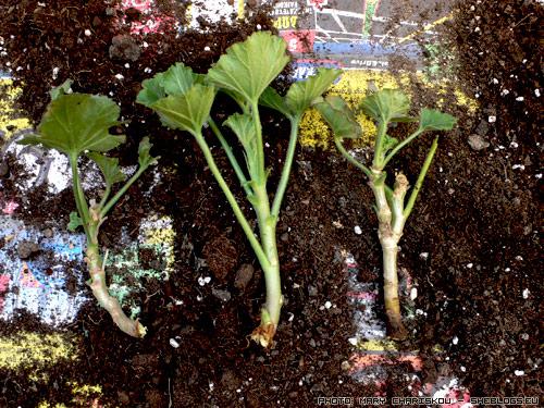 Πολλαπλασιασμός Μολόχας με μοσχεύματα - Φτιάχνουμε νέα φυτά από ένα μητρικό φυτό μολόχας με τον ίδιο απλό τρόπο που πολλαπλασίαζαν τις μολόχες όλες οι γειτόνισσες του παρελθόντος