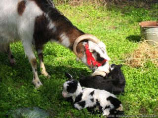 Έλεγχος της μήτρας μετά τον τοκετό σε προβατα και κατσικες