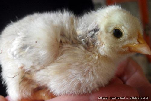 Εμβολιακό πρόγραμμα για κοτοπουλάκια - Όταν γεννηθούν τα κοτοπουλάκια χρειάζονται ιδιαίτερη μεταχείριση και φυσικά και εμβόλια. Ευτυχώς δεν χρειάζονται βελόνες, πάμε να δούμε πως γίνεται