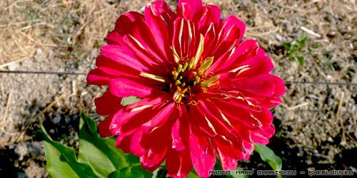 Ζίννιες οι υπέροχες - Άμα φυτέψεις μια φορά ζίννιες στον κήπο ή το παρτέρι σου ένα πράμα είναι απόλυτως σίγουρο... θα τις ερωτευτείς και δε θα θες να τις αποχωριστείς!
