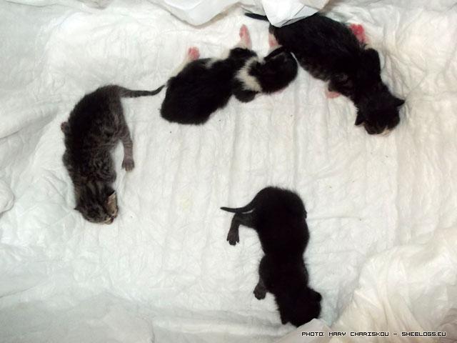 Γέννα γάτας, ότι είδαμε να συμβαίνει - Γέννησε η αδέσποτη γατούλα που φροντίζω χθες το βράδυ οπότε κατέγραψα όσα θυμάμαι από τη διαδικασία
