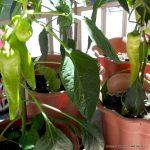 Πιπεριές σε γλάστρες. Φαί στο μπαλκόνι μας