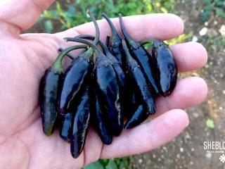 Καυτερή Πιπεριά Black Aztec