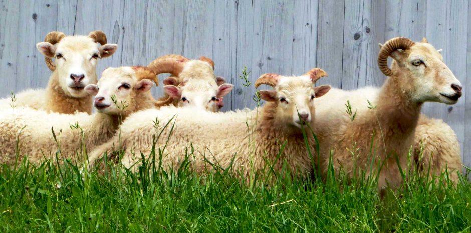 Αρνί, κατσίκι, πρόβατο ή γίδα;